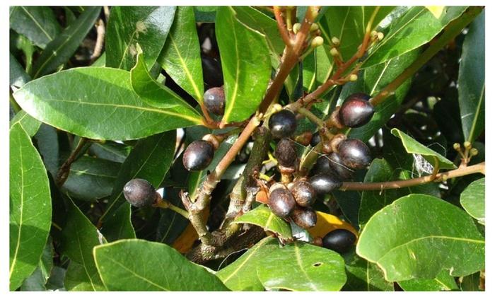 Laurus Nobilis Bay Leaf Tree Bay Laurel Or Sweet Bay