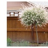 Japanse Dappled Nishiki Willow Shrub Tree White beautiful Flower Plant