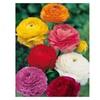 25 Ranunculus flower bulbs - one color or Mix