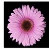Pink Gerber Daisy Canvas Print