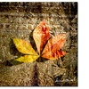 Miguel Paredes Red Leaves II Canvas Print 18 x 18