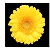 Yellow Gerber Daisy Canvas Print 24 x 24