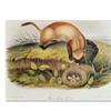 John James Audubon Black-Footed Ferret Canvas Print