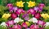 Famously Fragrant Mixed Freesia Flower Bulbs(30Pk,60Pk,or 150Pk w/Planting Tool)