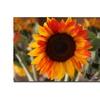 Martha Guerra Sunflower IVI Canvas Print 16 x 24