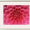 Hot Pink Dahlia Flower by John McAnulty