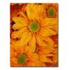 Amy Vangsgard Orange Daisies Canvas Print