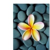 David Evans Plumeria & Pebbles 5 Canvas Print