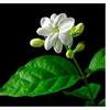 Amazing Jasmine Maid of Orleans, Arabian Tea Jasmine Live Plant