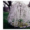 1 Weeping Cherry Tree