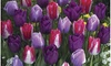 Tulip Bulb Varieties Packs: Tulip Bulb Varieties Packs