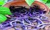 Purple Bean Seeds, Royal Burgundy, Heirloom Bean, Bush Green Beans, Non-Gmo 75ct