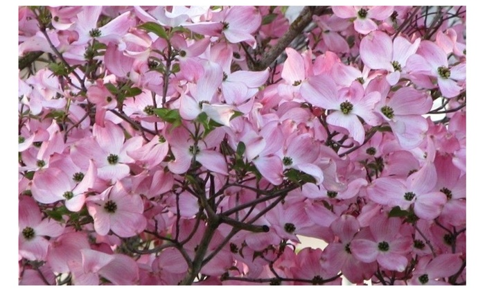 2 Pink Dogwood Tree Amazing Beauty Garden Groupon