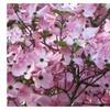 2 Pink Dogwood Tree Amazing Beauty Garden
