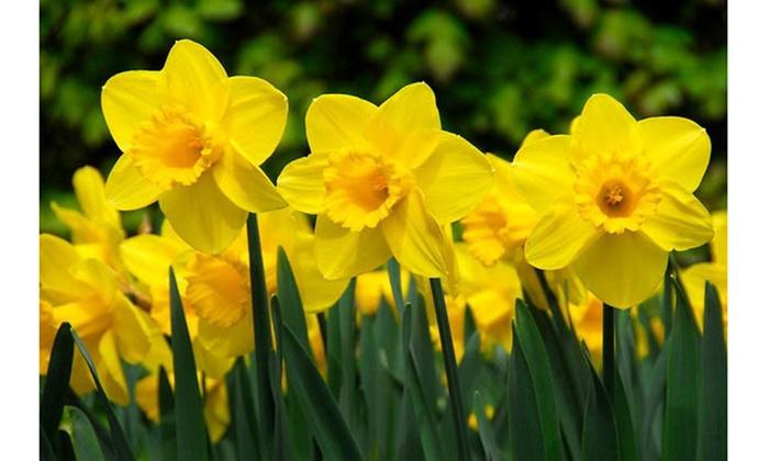 25 Wild Daffodil Flower Bulbs Narcissus Pseudonarcissus