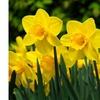 25 Wild Daffodil Flower Bulbs( Narcissus Pseudonarcissus), Great Value