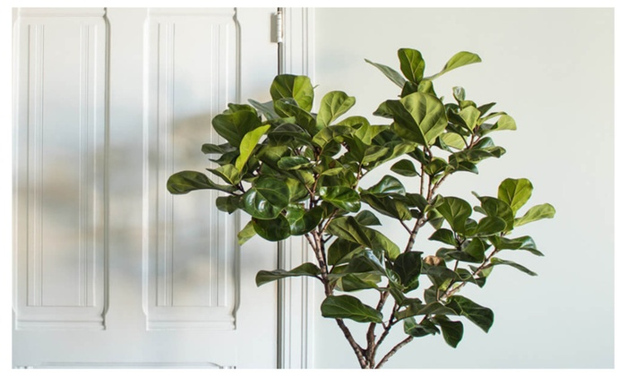 ficus lyrata fiddle leaf fig tree houseplant live great indoor tree