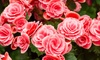 Strawberry Ripple Begonia Flower Bulbs (4-, 8-,16-Pack with Planting Tool)