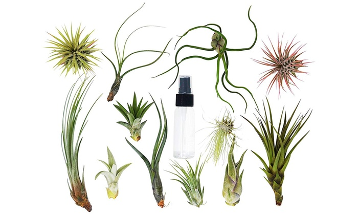 12 Bulk Air Plant Assortment W Spray Bottle 12 Different Plants