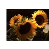 Martha Guerra Sunflower I Canvas Print 16 x 24