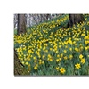 Kurt Shaffer Hillside of Daffodils Canvas Print