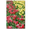Kurt Shaffer Red and Yellow Tulips Canvas Print 16 x 24