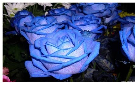 EGROW Beautiful Blue Rose Flower Seeds 50PCS 31e4fdf8-262c-49a8-8b50-47e721e82fc9
