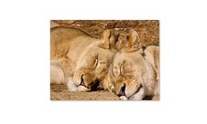 Groupon Goods Connected Supply: CATeyes National Zoo - Lions Canvas Print