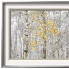 Fall Birch by Andrew Geiger