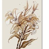 Wendra Lily Canvas Print