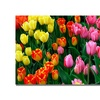 Kurt Shaffer Multi-Colored Tulips Canvas Print