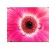 Kurt Shaffer Pink Gerber Canvas Print