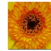Amy Vangsgard Orange and Black Gerber Centers Canvas Print