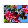 Kathie McCurdy Apple Blossoms Canvas Print