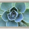 Succulent Echeveria by Clay Perry