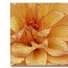Dahlia Flower, Sammamish, Washington, USA by Darrell Gulin