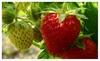 Strawberry Vine - Pkg of 3 Plants