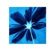 Philippe Sainte-Laudy Corolla Blue Canvas Print