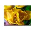 Martha Guerra Open Tulip Canvas Print 16 x 24