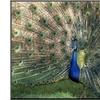 Male Peacock (Paro Cristatus) by Peggy Koyle