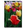 Kurt Shaffer In Amont the Tulips II Canvas Print
