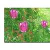 Kathie McCurdy Tulips Canvas Print