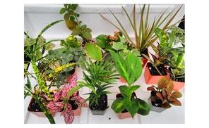 Terrarium & Fairy Garden 8 Live Plants
