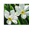 Kathie McCurdy Daffodils Canvas Print 35 x 47