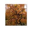 Kurt Shaffer 'October Japanese Maple' Canvas Art