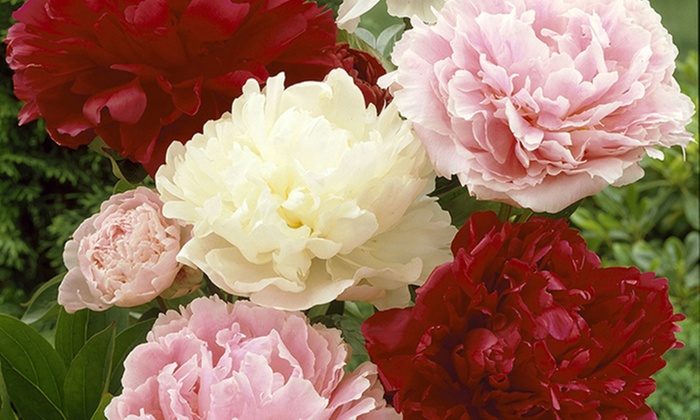 Mixed Colored Peonies Bare Roots 3 Or 6 Pack