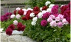 Double Bloom Mixed Peony Flower Bulbs (4-, 8-, 16-Pack With Planting Tool)