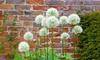 Snow White American Allium Flower Bulbs (15-, 30-, 60-Pack With Bulb Planter)