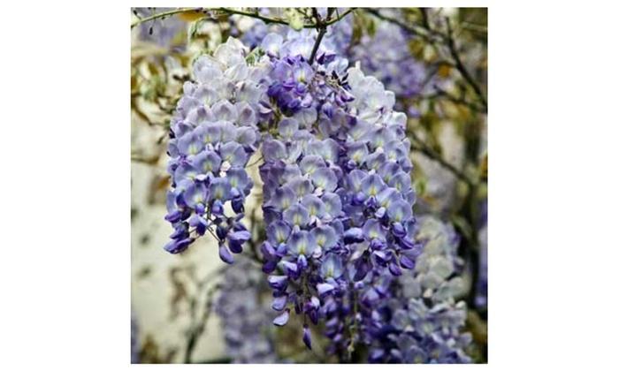 Wisteria Vine Wisteria Frutescens Amethyst Falls Flowering Live