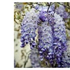 Wisteria Vine Wisteria frutescens 'Amethyst Falls' Flowering Live plan